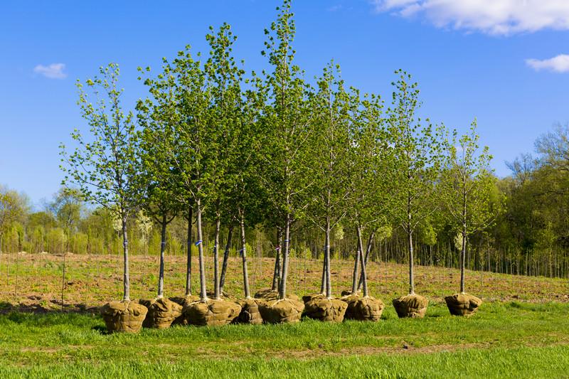 tree establishment
